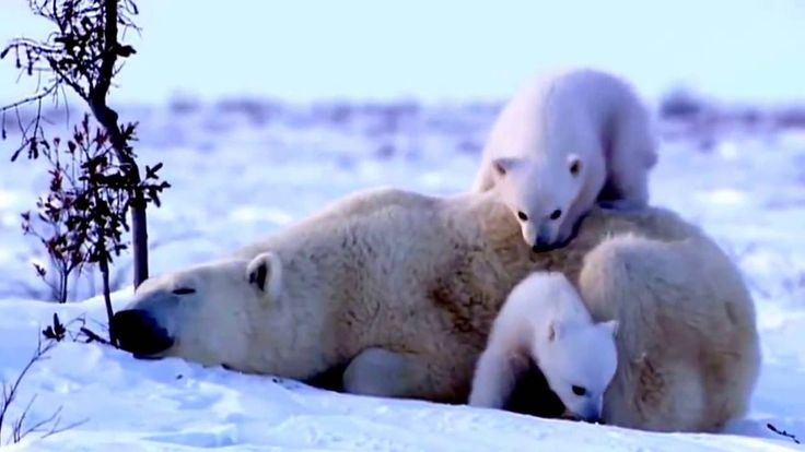 #Медведица гуляет с медвежатами ! #Bear walking with cubs !