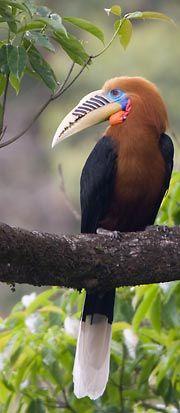 Rufous-Necked Hornbill (India & Southeast Asia).  Photo by cheesemans.com/img/bhutan