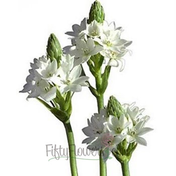 Star of Bethlehem White Flower    Fresh cut bulk Star of Bethlehem flowers, also known as Ornithogalum, feature long brilliant green stems, on top of which rests a conical spike with clusters of small star-shaped blooms. Our white Star of Bethlehem dresses up wedding bouquets, table centerpieces and flower arrangements.