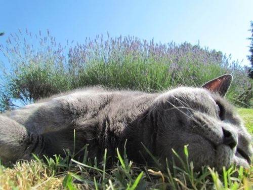 """Ah, le summer!…""  Photo by ©I MICI di Lola GreyKitty Cat, Lola Grey, Summer Photos, Le Summer, Di Lola, Cat Cat, Cat 2 Love, Mici Di, 2 Love Cat"