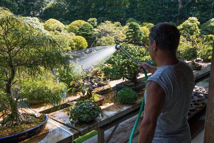 Morning shower: Hiroshi Takeyama, owner of Fuyo-en, waters his bonsai before the sun becomes scorching hot.