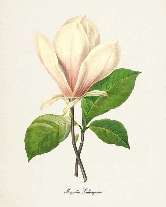 Magnolia Botanical Print Flower  Magnolia by VisualNature on Etsy