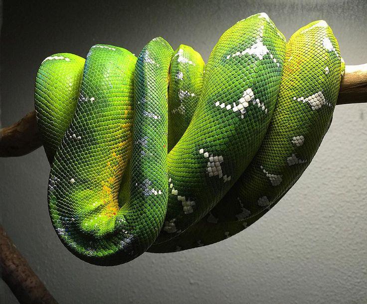 100 Best Emerald Tree Boas Images On Pinterest  Boas -8413