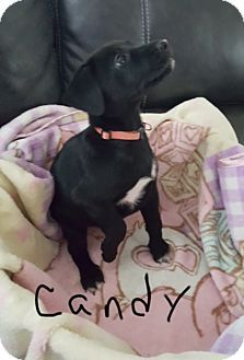 Brattleboro, VT - Labrador Retriever Mix. Meet Puppy Candy, a puppy for adoption. http://www.adoptapet.com/pet/18732135-brattleboro-vermont-labrador-retriever-mix