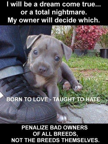Poor pitbulls !