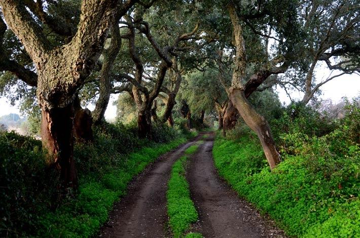 Pine tree path on the Rota Vicentina.