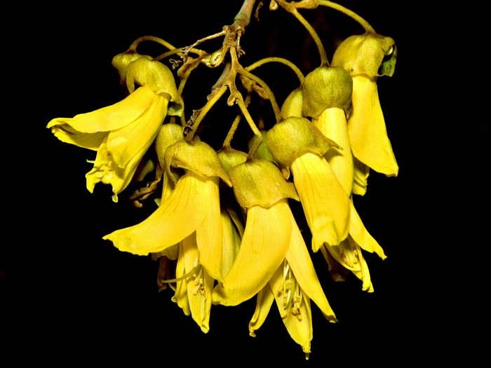 Kowhai flowers #yellow
