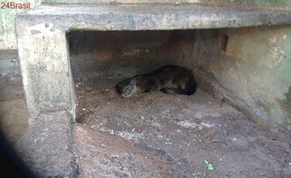 Lontra é resgatada pela Polícia Militar Ambiental em Campo Grande