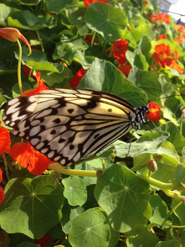 大石公園ゆり祭りレポート2 那覇市識名の 大石公園 で開催中の ゆり祭り で撮影した画像です 前回は花の画像だけでしたが 那覇市の市の蝶 でもある オオゴマダラ をお見せします 花とたわむれる オオゴマダラ の優雅な 姿は 皆様にもぜひお見せしたい