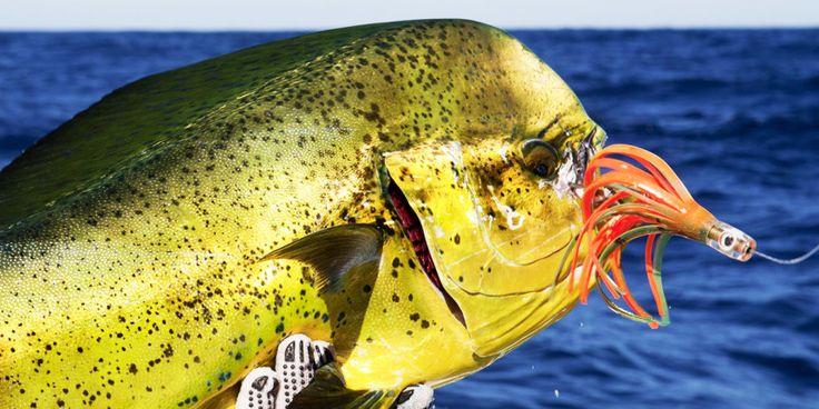 mahe-mahe-coiba-island-panama-fishing-862x431.jpg