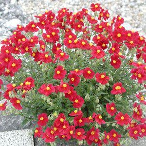 helianthemum hybride 39 red orient 39 sonnenr schen. Black Bedroom Furniture Sets. Home Design Ideas