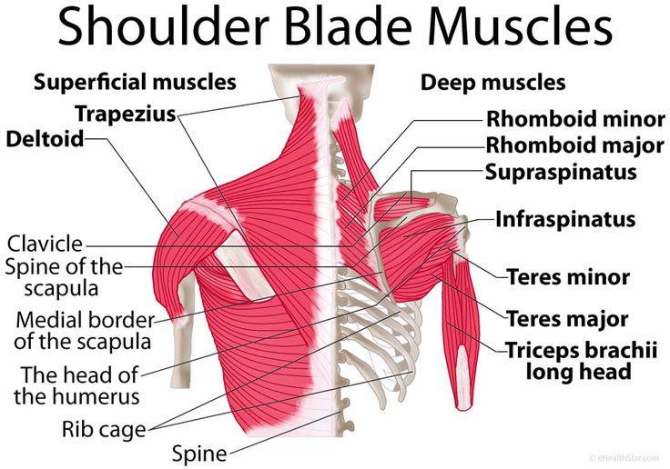 Shoulder blade (scapula) muscles: origin, insertion, function