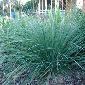 Lomandra longifolia 'Nyalla' • Australian Native Plants Nursery • Plants • 800.701.6517