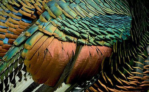 I Spy Animals: Turkeys You WON'T Eat for Thanksgiving