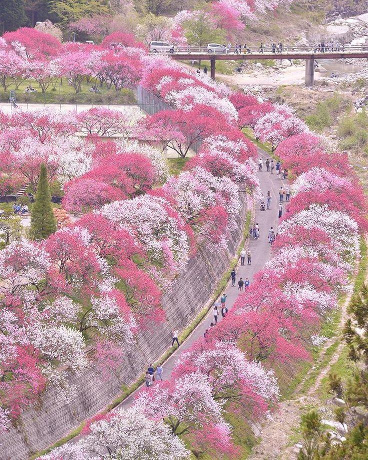 Hanamomo Peach Blossoms In Tsukikawa Spa, Nagano, Japan