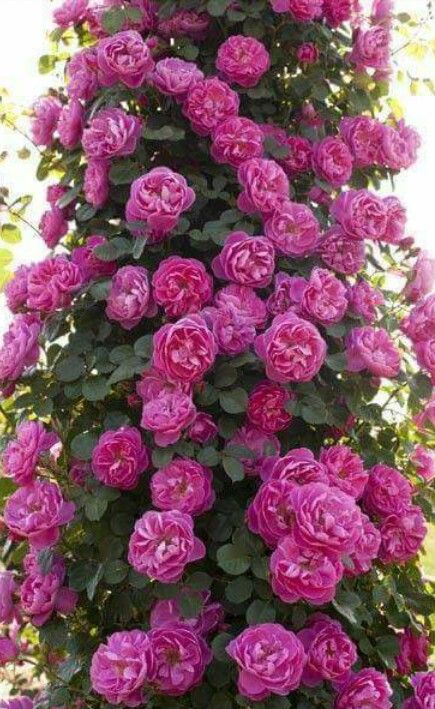 Climbing Bright Purple Rose Bush Purple Roses Climbing