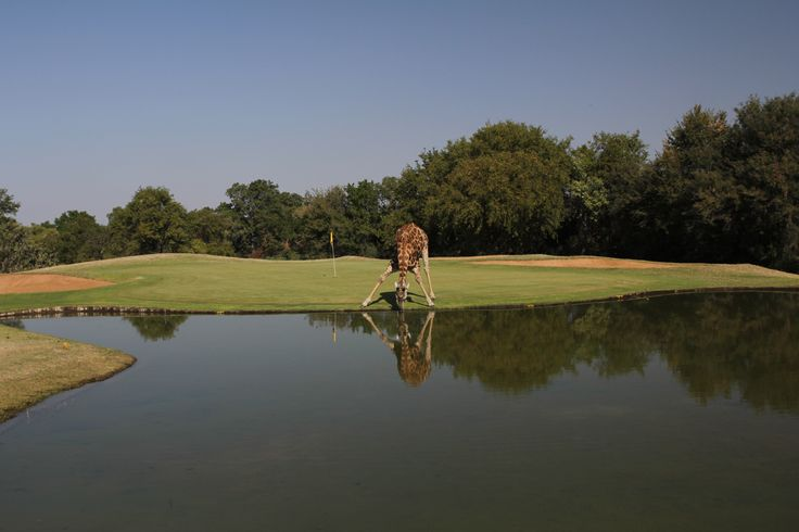 Giraffe having a drink during our Golf game.
