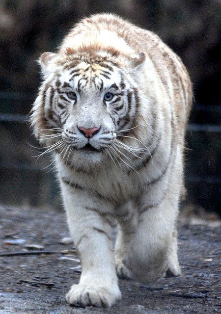 White tigers are beautiful! I wish they weren't endangered.