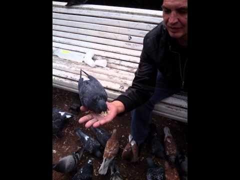 Санкт- Петербург.Питерские голуби.