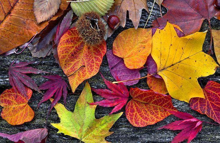 Till en mysig höstdukning eller en vacker dörrkrans vill man gärna ta till vara på färgerna utomhus. Men underbart är kort – så passa på att konservera löven när de är som vackrast.