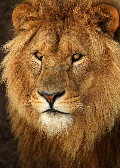 animalkingd0m:  Lion by Alan Hinchliffe