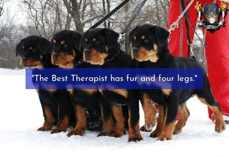 Rottweiler Loving Confident And Loyal Puppies Dog Training
