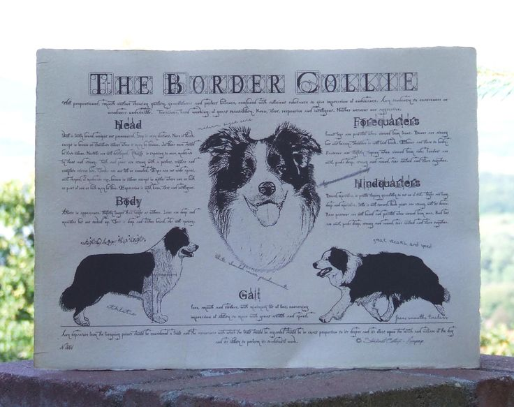 Antique styled dog standard - Border Collie by Creativedoglover on Etsy