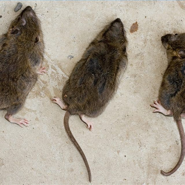 Home remedies for getting rid of rats rat repellent - Como matar ratones ...