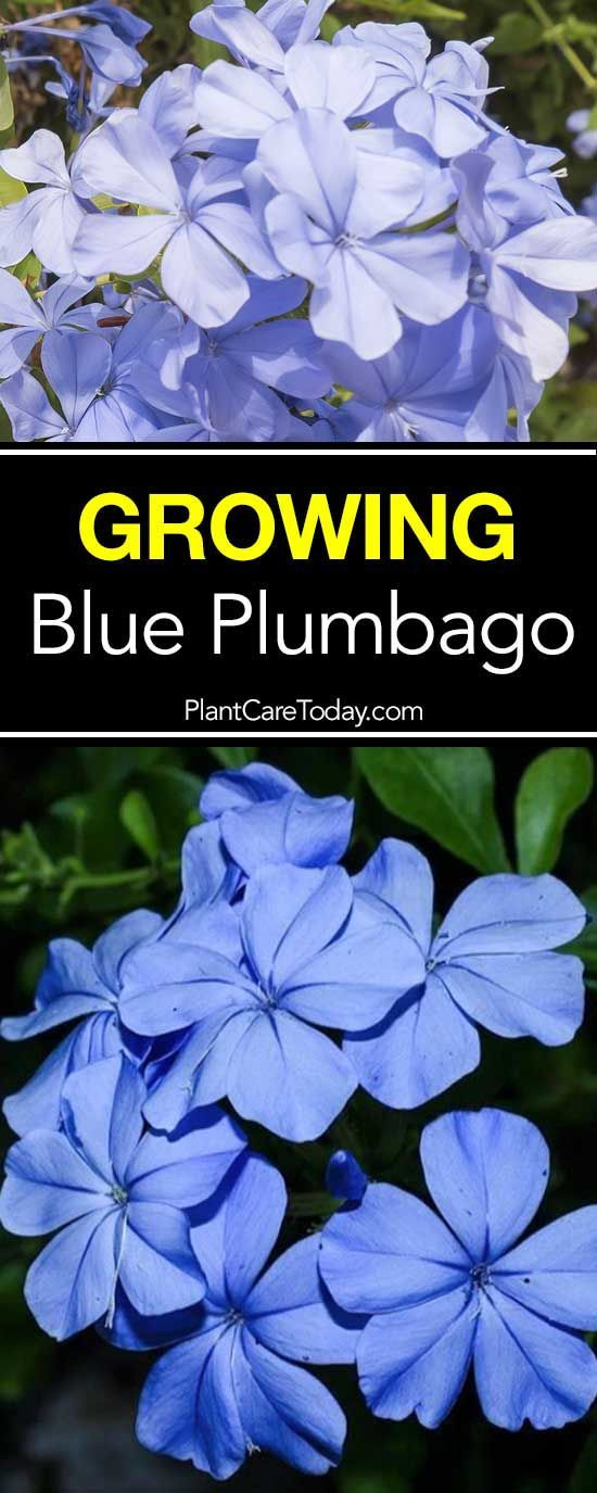 The hardy blue plumbago plant: excellent for a landscape needing a ground cover type plant loving heat, humid summers, drought-tolerant. [LEARN MORE]