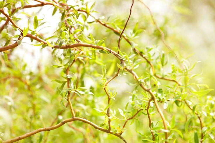 Wierzba mandżurska - Salix matsudana
