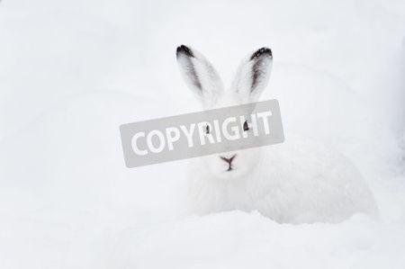 ユキウサギ (緯度野兎) に座っている白い毛皮と冬の雪します。