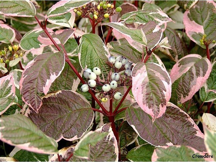 cornus alba 39 sibirica variegata 39 rabatt i vitt och. Black Bedroom Furniture Sets. Home Design Ideas