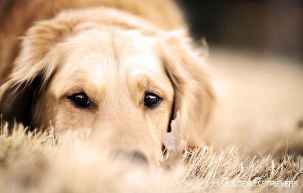 Golden Retriever Noble Loyal Companions Con Imagenes Perros
