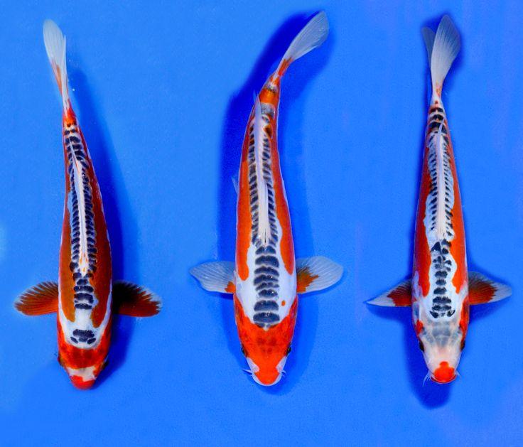 Shusui selection blue ridge fish hatchery koi for Blue ridge fish hatchery