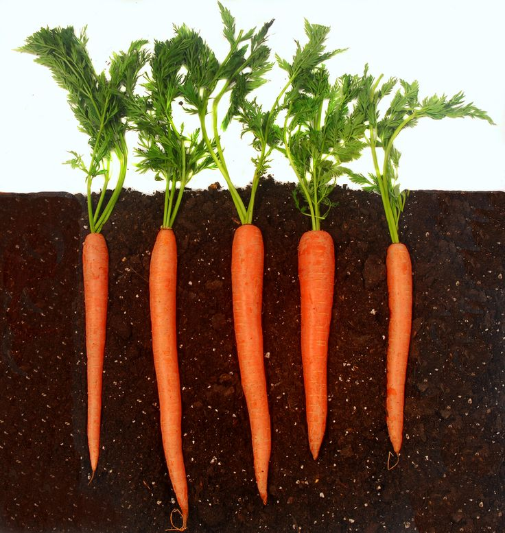 carrot images Innate Response Hearty Roots Carrot and Ginger