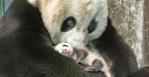 Panda ölelés