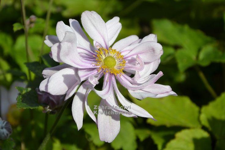Výška:  80 cm  Květ:  růžová, poloplná, VIII. - X. EXTRA silné, květuschopné sazenice v květ. 11x11 cm!!! Patentovaná odrůda sasanky, mimořádné...