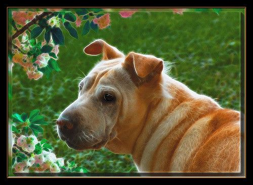 Fractalius Filter added to portrait picture of Mary, a mixture puppy dog mutt of Chinese Shar Pei, and who knows what? | by Beverly & Pack