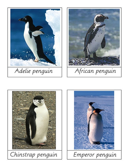 penguin images by Flickr.  Go to website. If you hover over the images, it will show information about each penguin species.
