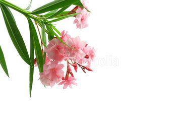 Fiore di oleandro rosa isolato su sfondo bianco #microstock #marketing #webdesign #design #WebContent #SEO #csstemplates #css #HTML5 #Websites #web20k #web2015 #web