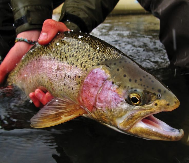 675 best ideas about fly fishing -101 on pinterest | streamers, Fly Fishing Bait