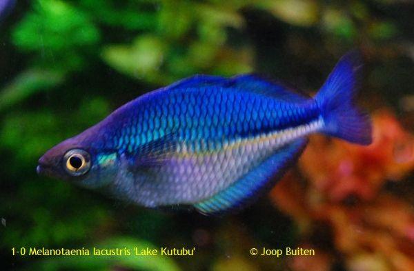 Melanotaenia lacustris rocking rainbowfish and bottom for Turquoise rainbow fish