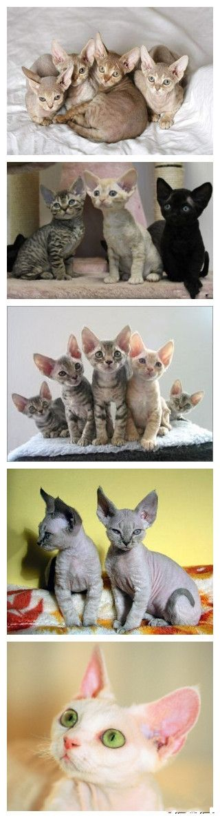 If I cant have a shpyx i want a Devon Rex~