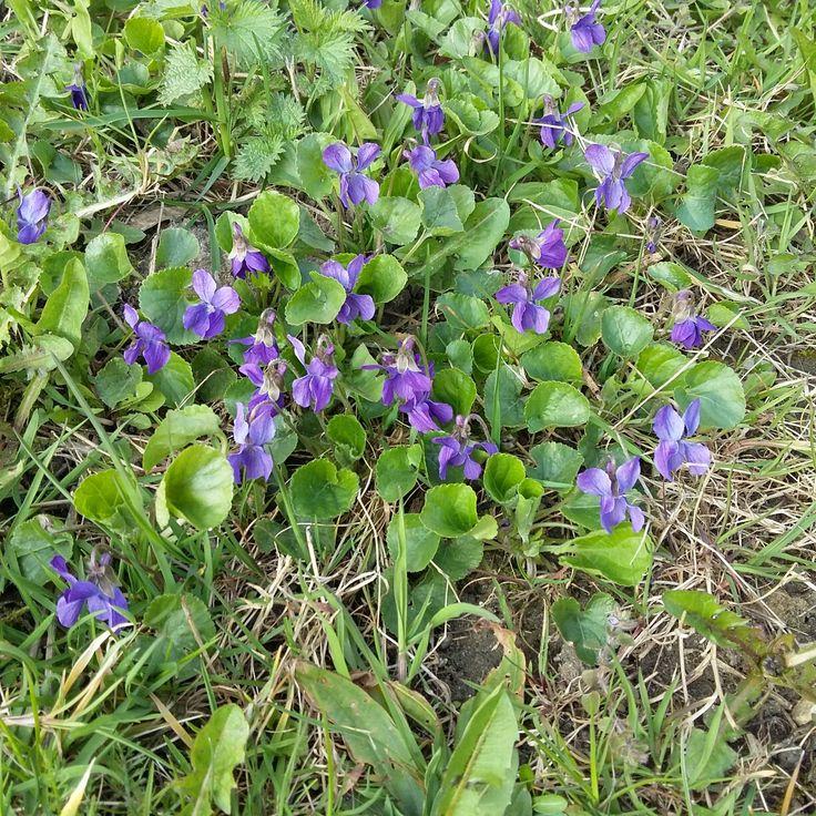I wiosną ...fiołki