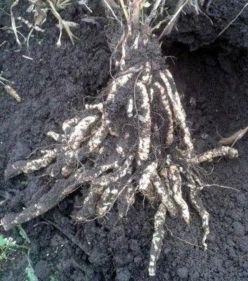 Przedmioty użytkownika plants-seeds - Allegro.pl