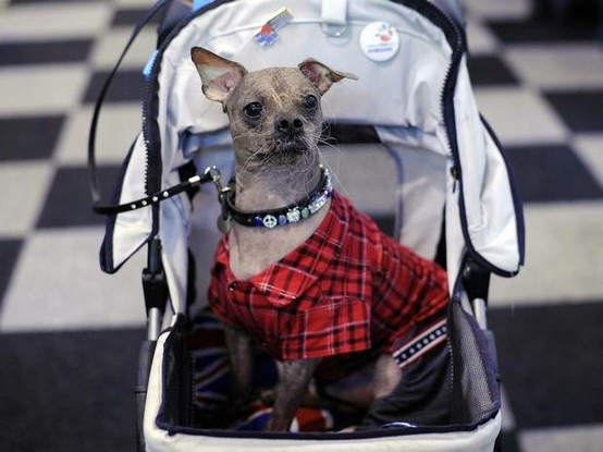 The Newspaper Independent took this beautiful picture of Mugly wearing his gorgeous VOSS BY VOSS collar at Crufts 2013, England.
