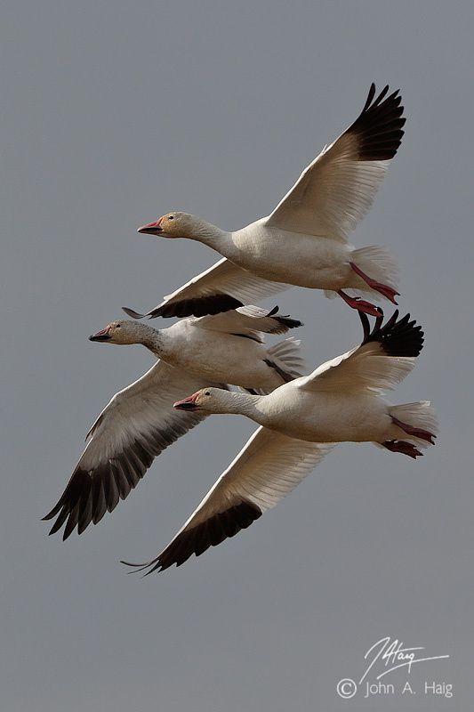 Snow Geese by John Haig on 500px