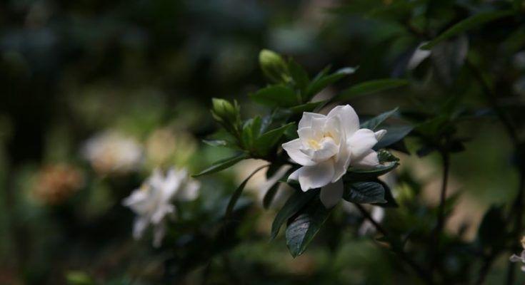 7 Fragrance Flower Plant इन 7 प ध क फ ल ग र डन क ख शब स महक द ग In 2020 Plants Planting Flowers Flowers