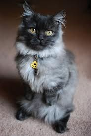 munchkin cats for sale - Google Search