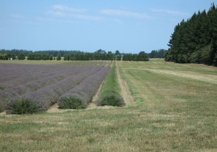 Harvesting the first row of lavender - 9